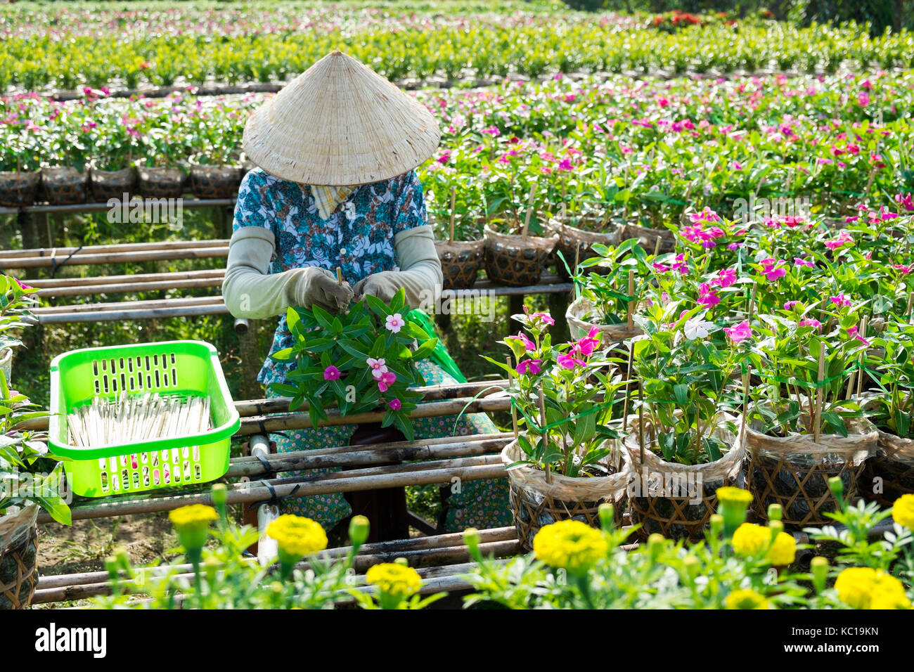 A gardener cares for the flowers in her garden in Sa Dec, Dong Thap, Vietnam. Sadec (Sa Dec) is flower producing - Stock Image