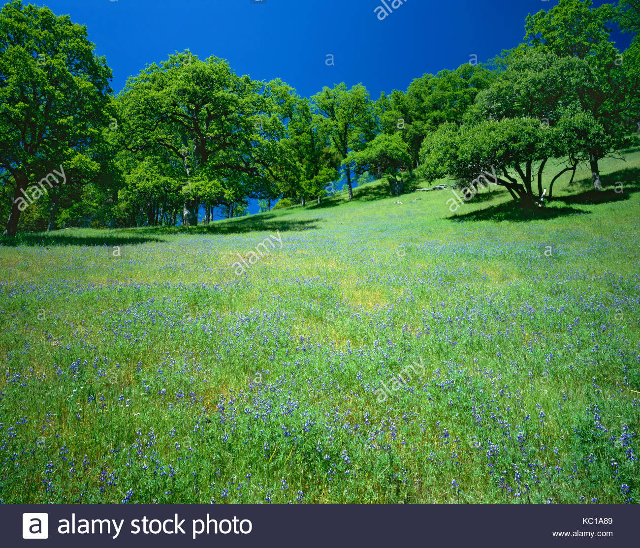 Lupine and Oaks in Spring, Ishi Wilderness, Lassen National Forest, California - Stock Image