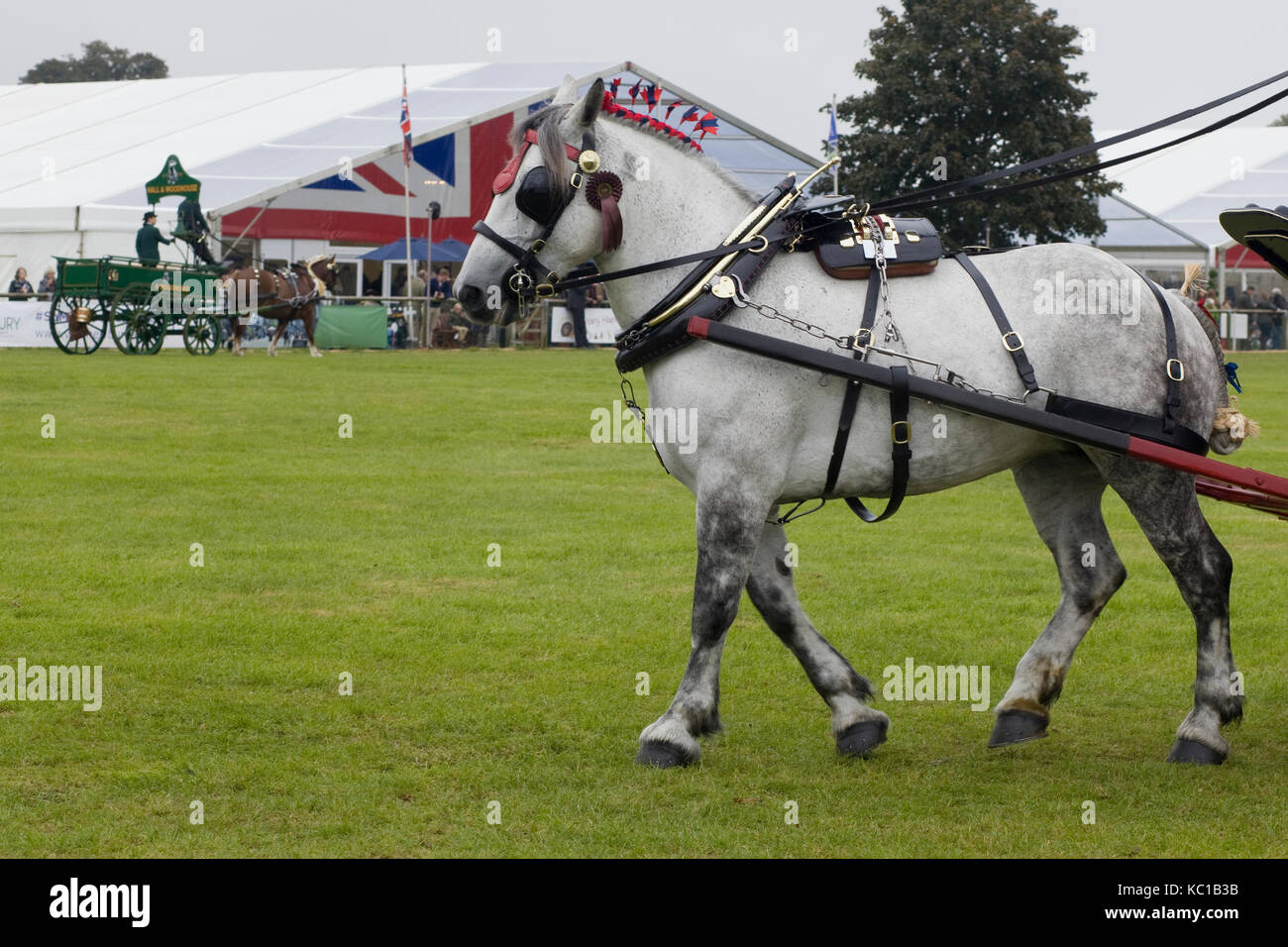 Grey draught horse at a showground in full harness - Stock Image