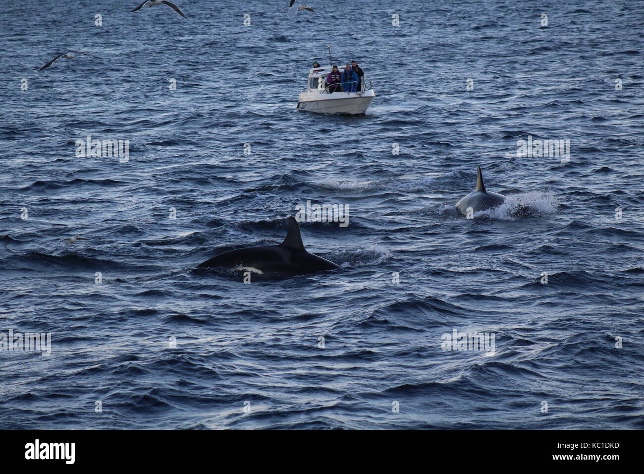 Boats watching whales surface in fjords by Tromso Norway - Stock Image