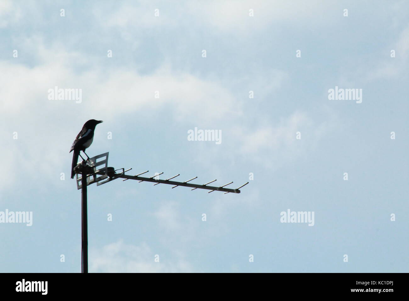 Magpie sitting on a TV aerial - Stock Image