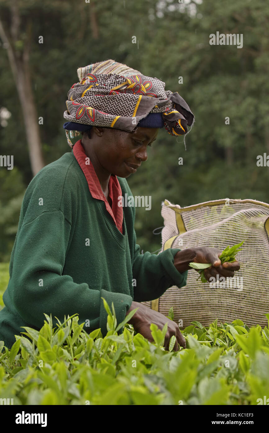 Tea picker, Kakamega forest, tropical rainforest, Kenya, tea plantation used as buffer to protect natural forest - Stock Image