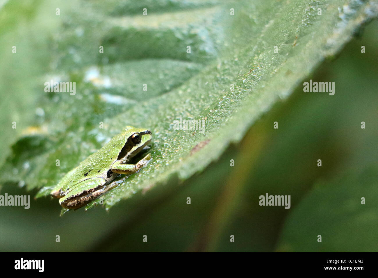 Pacific tree frog on a blackberry leaf - Stock Image