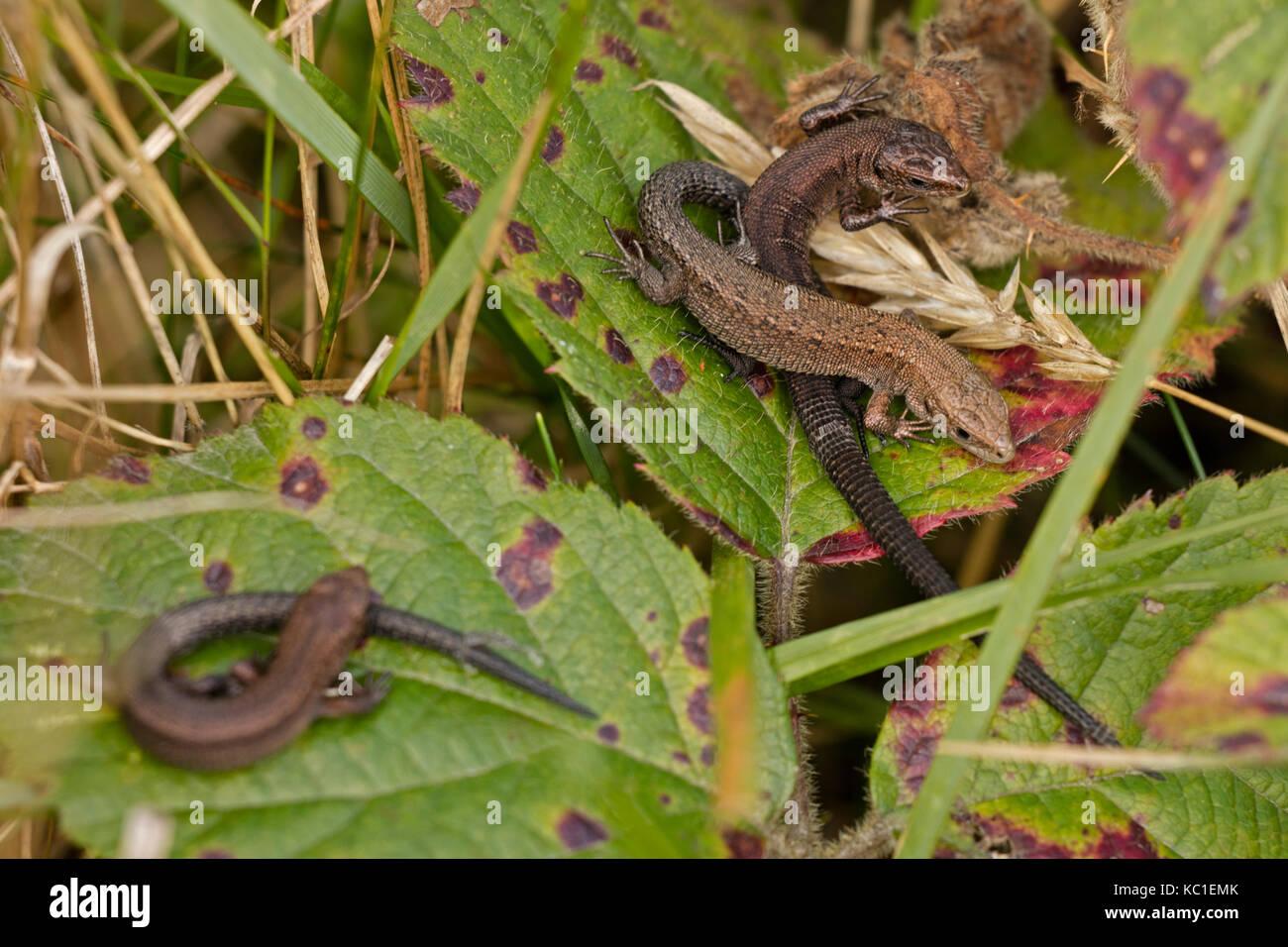 Common lizard (Lacerta vivipara), young basking, Herefordshire, England, UK - Stock Image