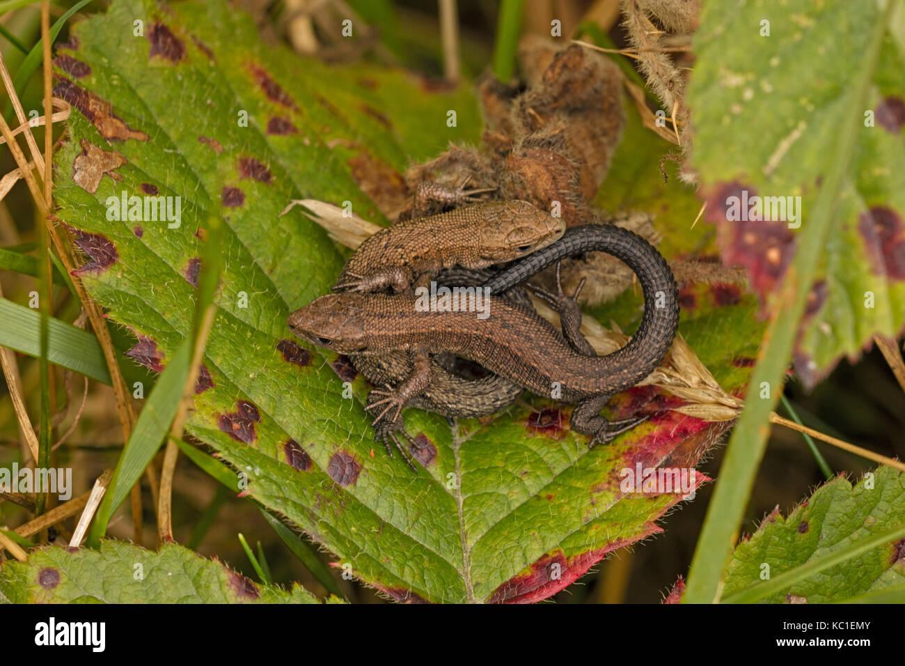 Common lizard (Lacerta vivipara), two young basking, Herefordshire, England, UK - Stock Image