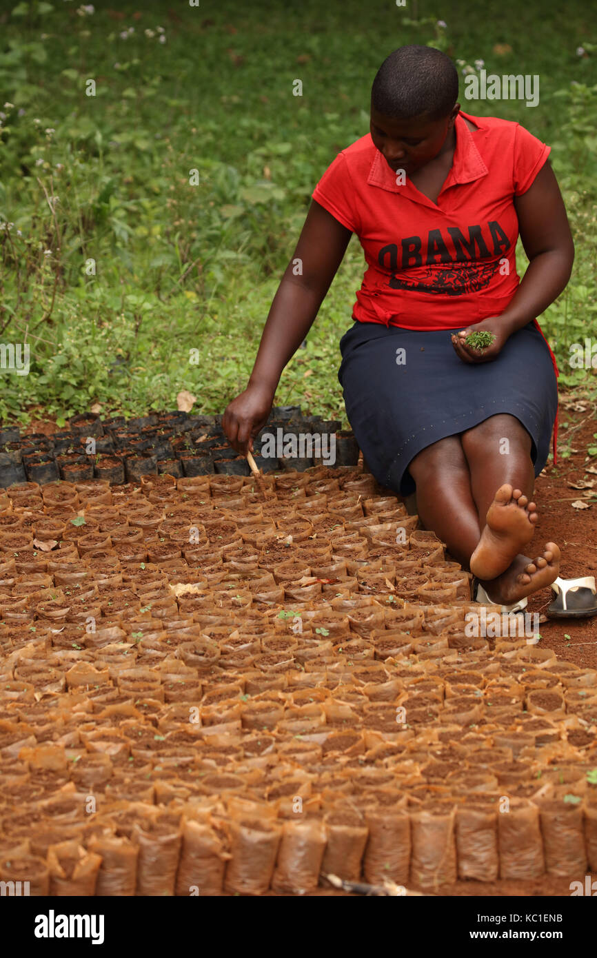 Planting seedling trees for reforestation, Kakamega forest, Kenya - Stock Image