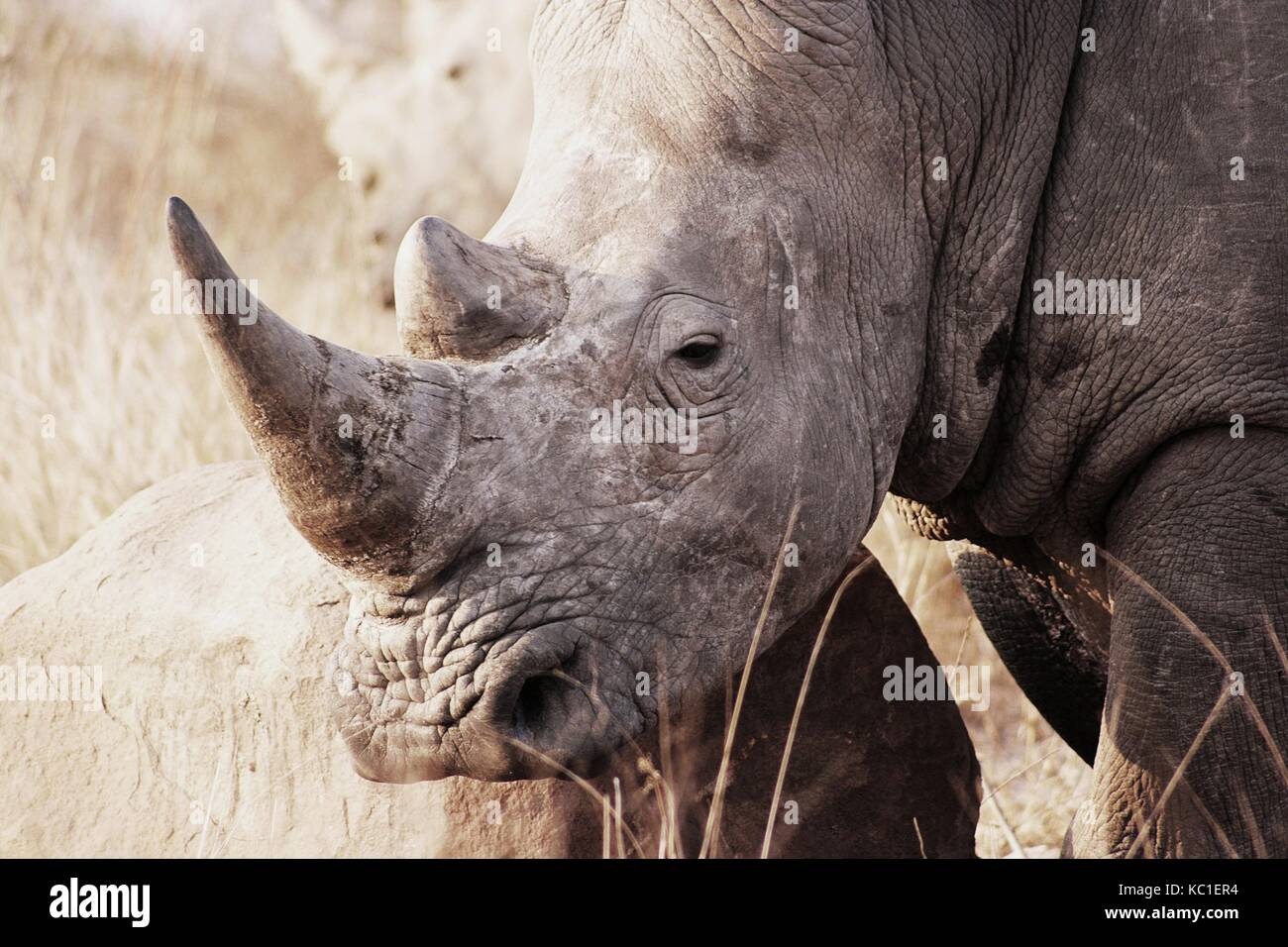 White Rhino resting its head on a rock in the Kruger National Park, South Africa - Stock Image