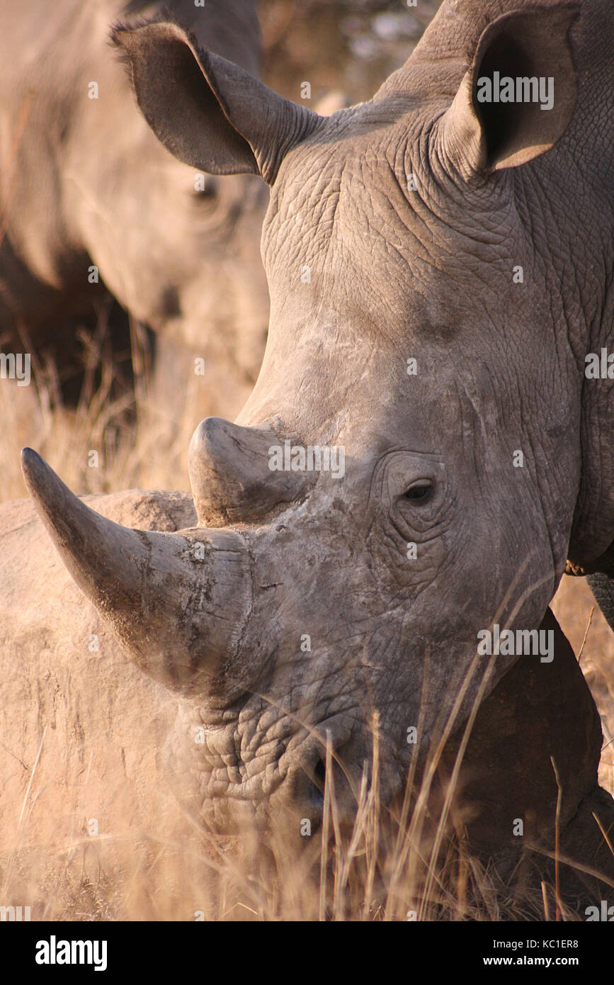 White Rhino face in the Kruger National Park, South Africa - Stock Image