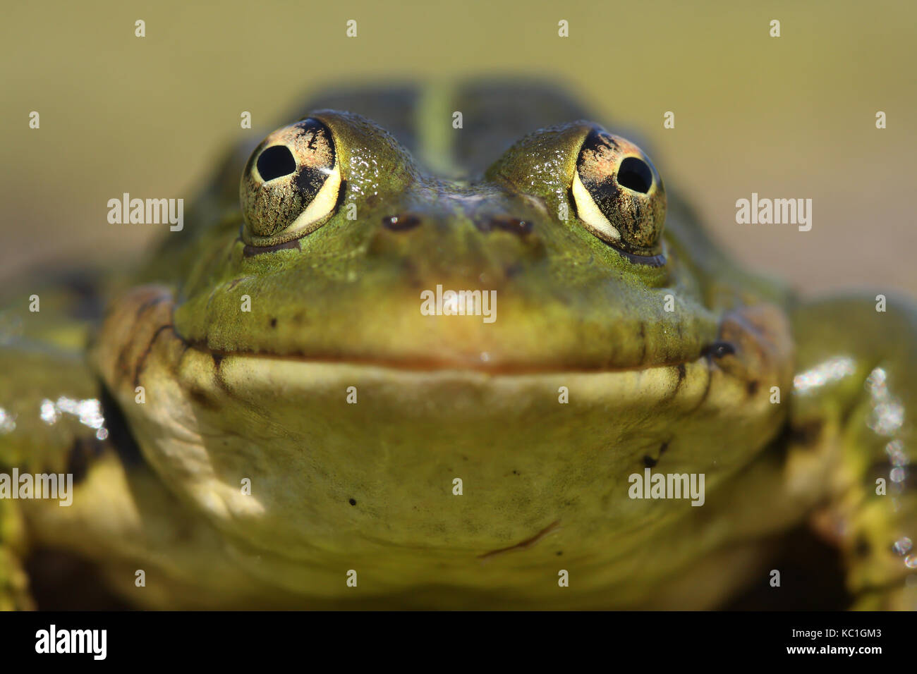 Perez,s frog (Pelophylax perezi) front view - Stock Image