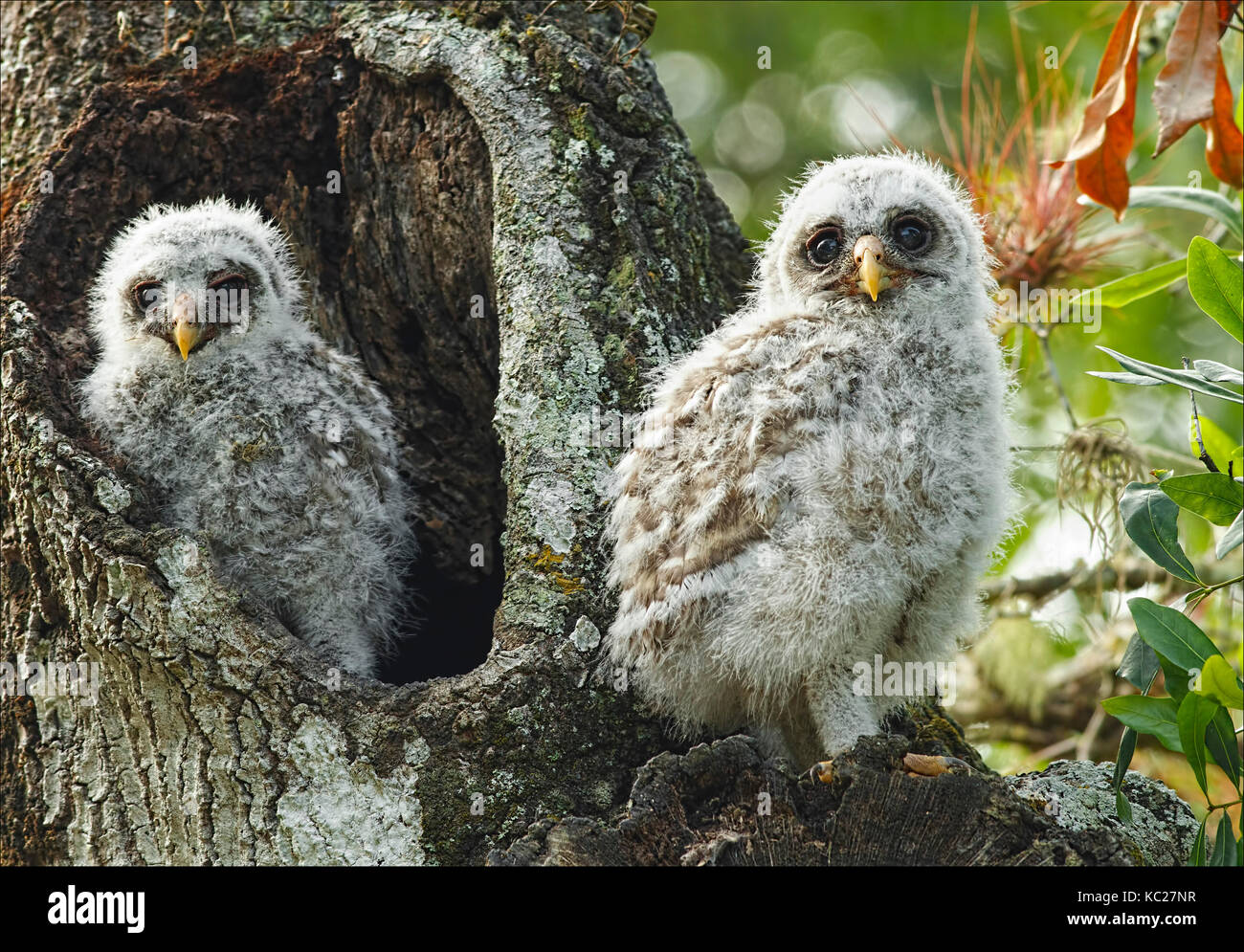 Juvenile Barred Owls emerging from Cavity - Stock Image