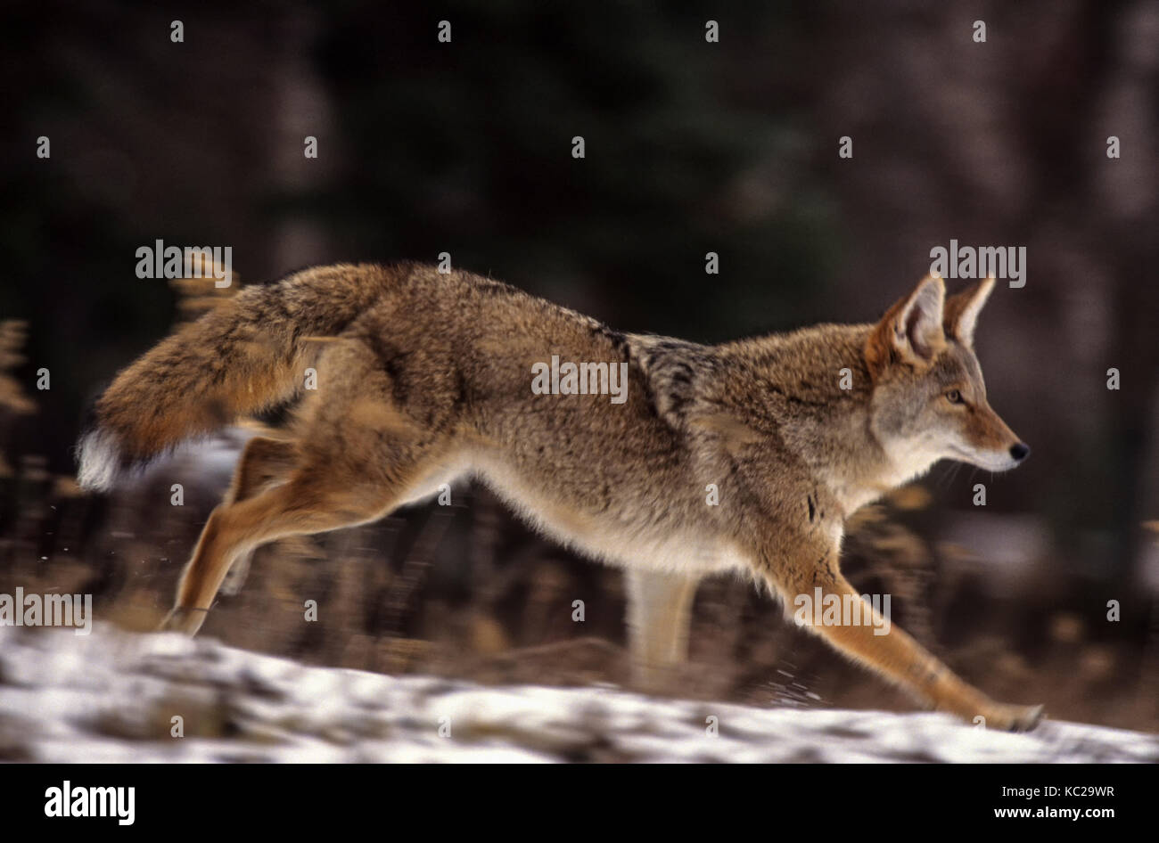 Running Coyote Stock Photos & Running Coyote Stock Images ...  Running Coyote ...