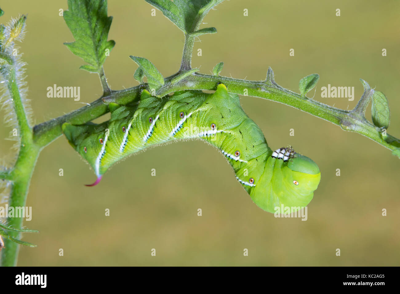 Tomato Hornworm Moth or Five-Spotted Hawk-Moth (Manduca quinquemaculata) caterpillar, larvae, Ames, Iowa, USA - Stock Image