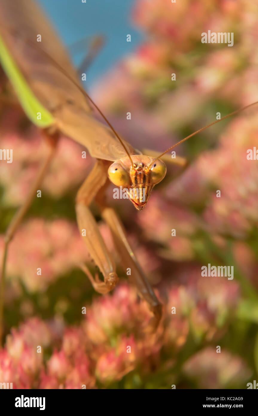 Praying mantis (Mantis religiosa) waiting for a prey on flowers, Ames, Iowa, USA Stock Photo