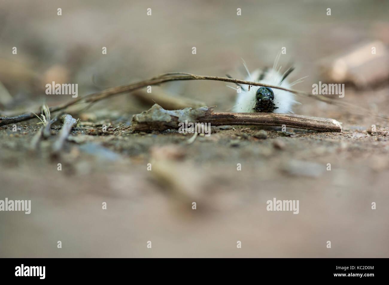 Hickory Tussock Caterpillar - Stock Image