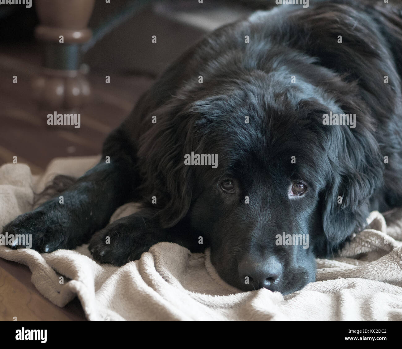 Sweet black newfoundland dog with sad face lying on a blanket with muted colours. Stock Photo