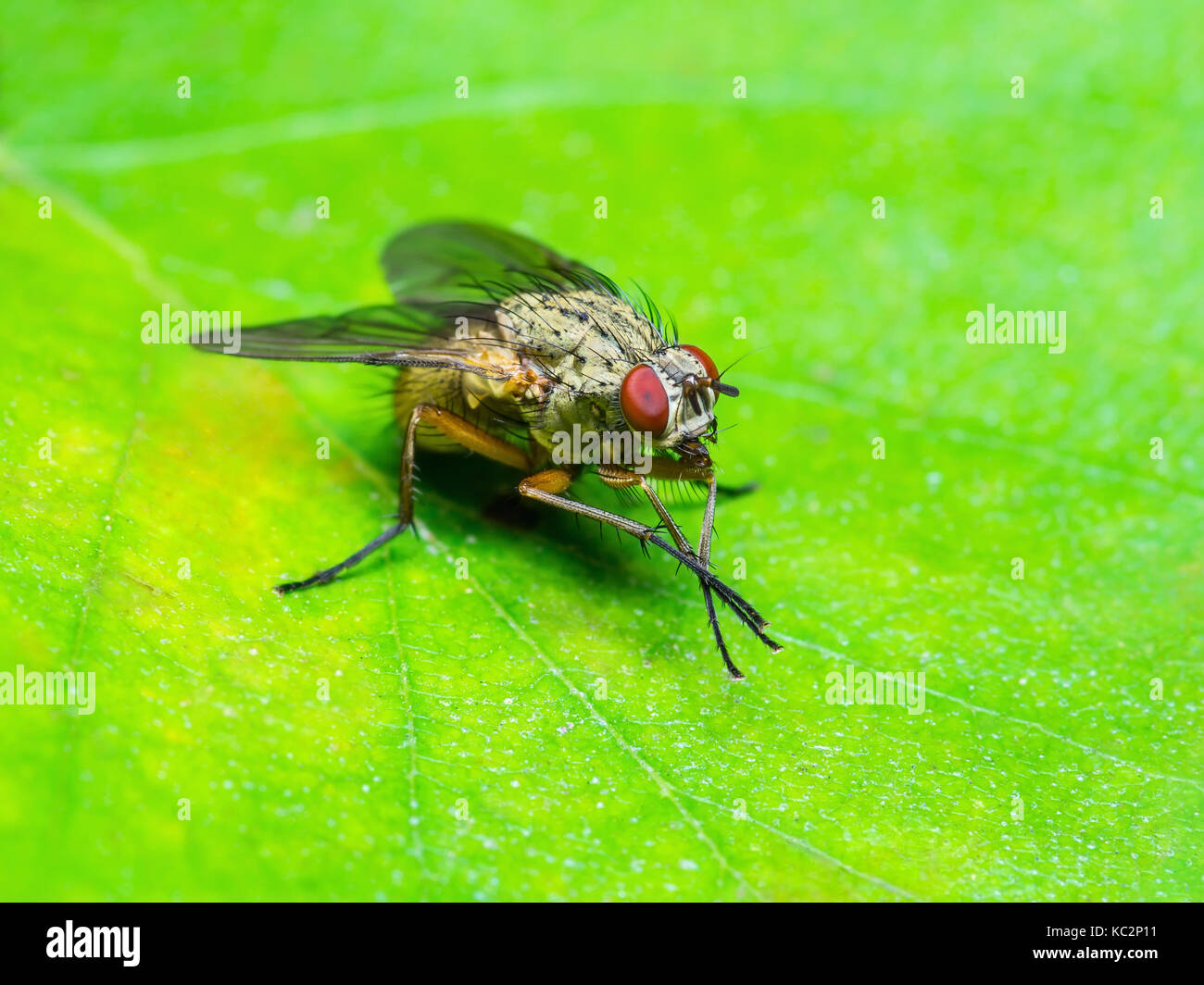 Fruit Fly Stock Photos & Fruit Fly Stock Images - Alamy