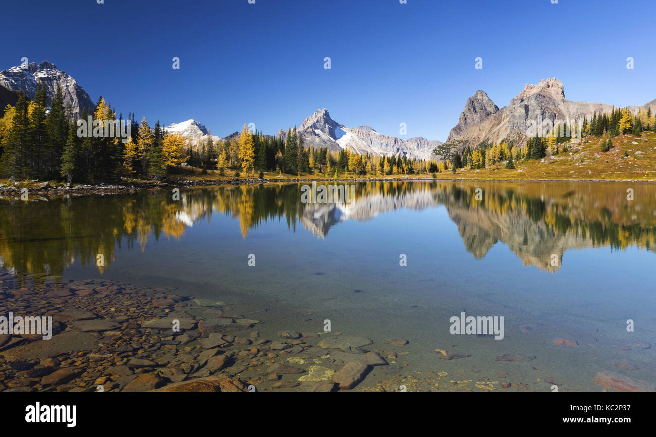 Autumn Landscape and Distant Rocky Mountain Tops as Golden Larches are Changing Colors at Lake O'Hara, Yoho National Stock Photo