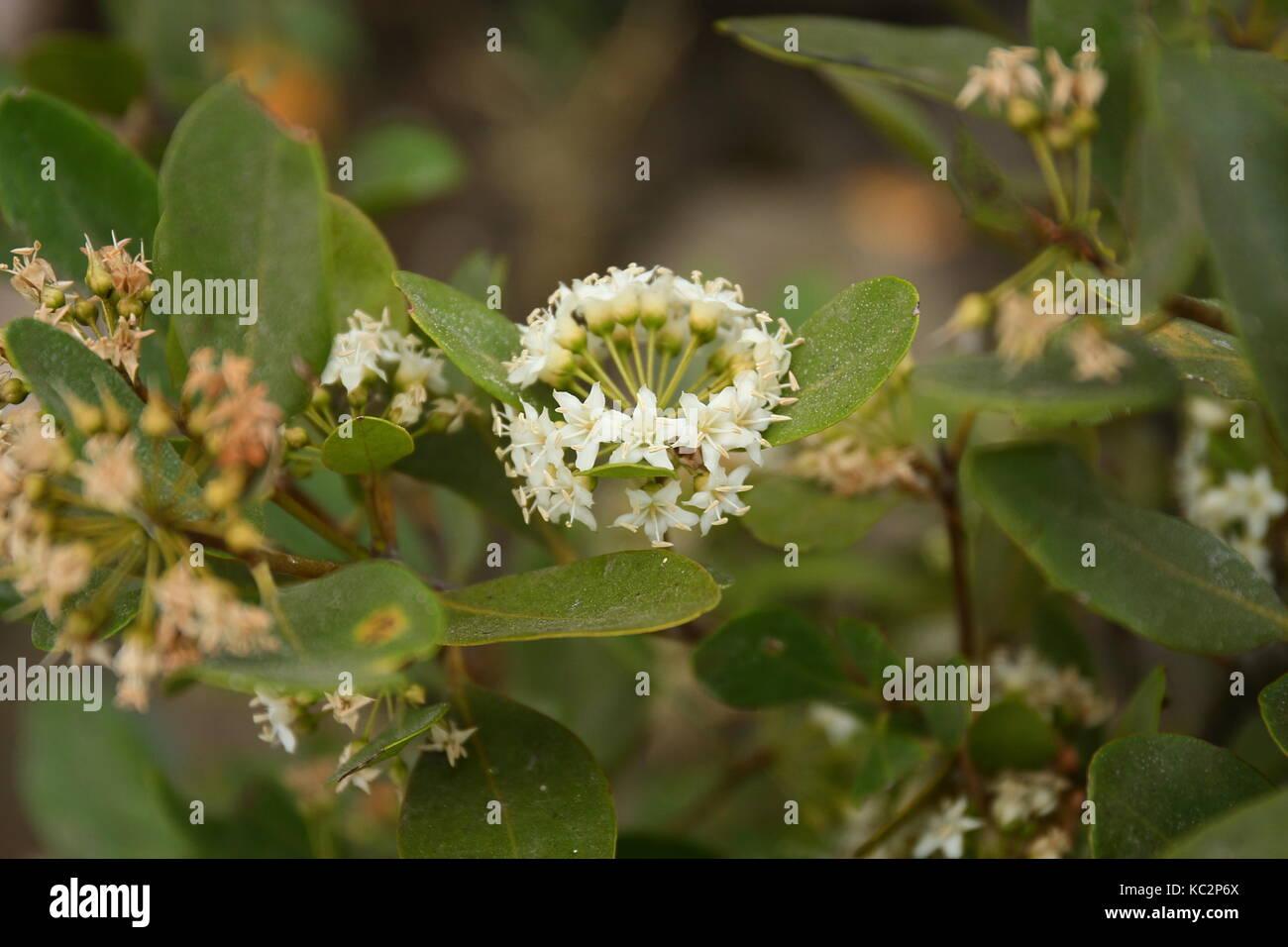 River Mangrove in Flower Stock Photo