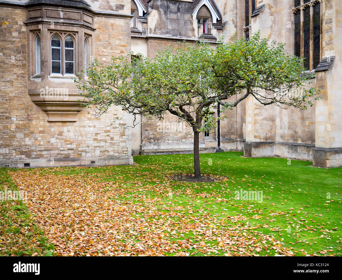 A tree in the grounds of Trinity College Cambridge, part of the university of Cambridge in autumn - Stock Image