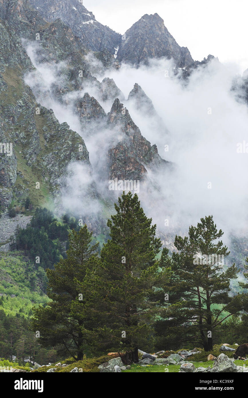 Huge spruces in the mountains, high peaks covered by fog and clouds - Stock Image