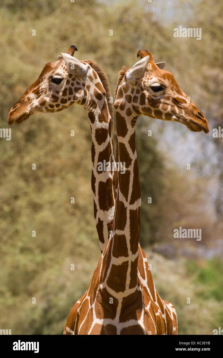 Reticulated giraffe (Giraffa camelopardalis reticulata), Samburu National Game Park Reserve, Kenya, East Africa Stock Photo
