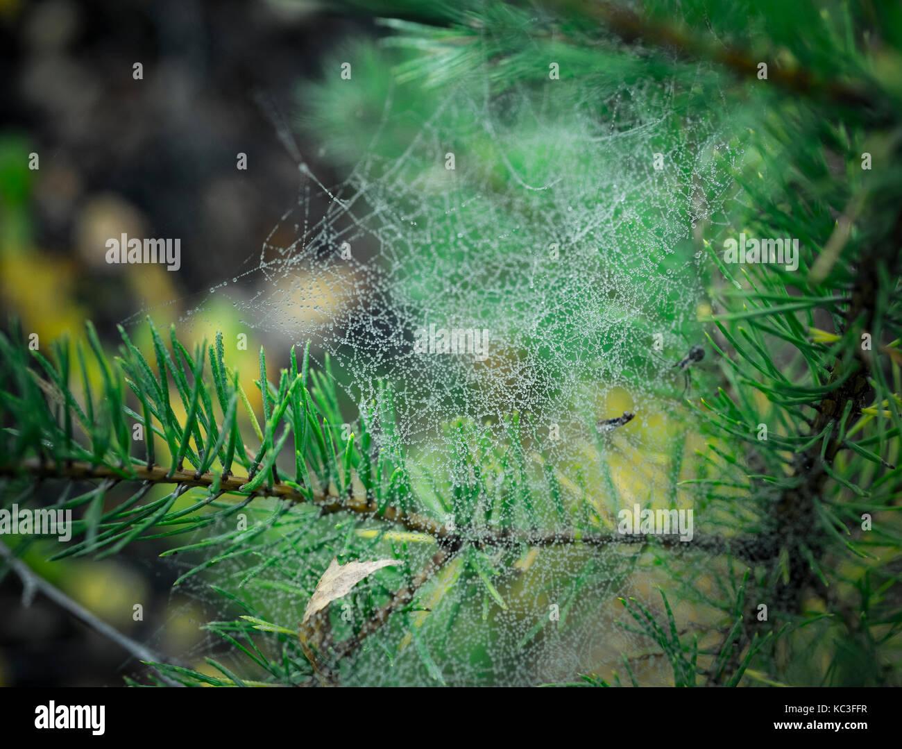 cobweb on a spruce twig - Stock Image