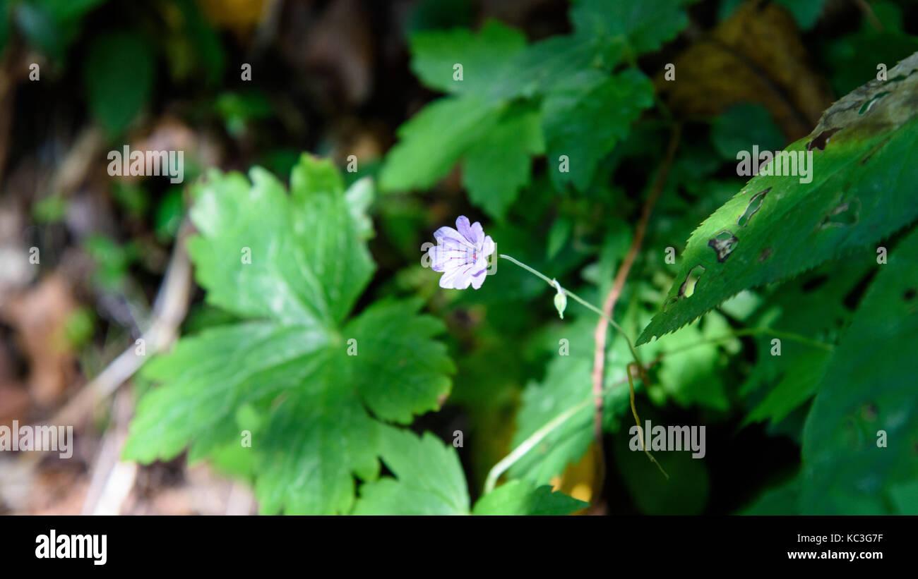 Undergrowth flowers. Cyclamen Stock Photo