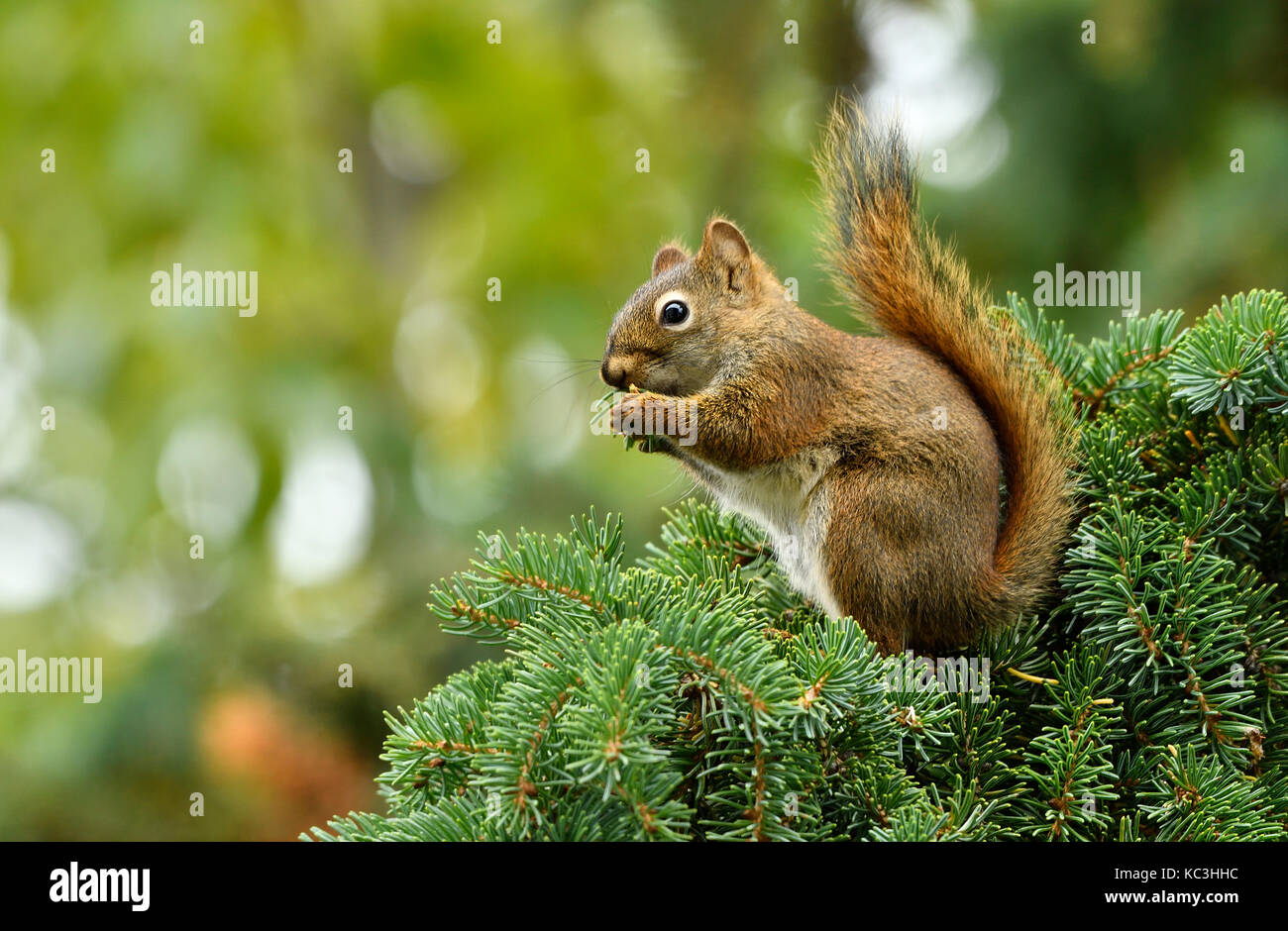 A red squirrel Tamiasciurus hudsonicus; sitting on on  a spruce tree branch eating the fresh green spruce needles - Stock Image