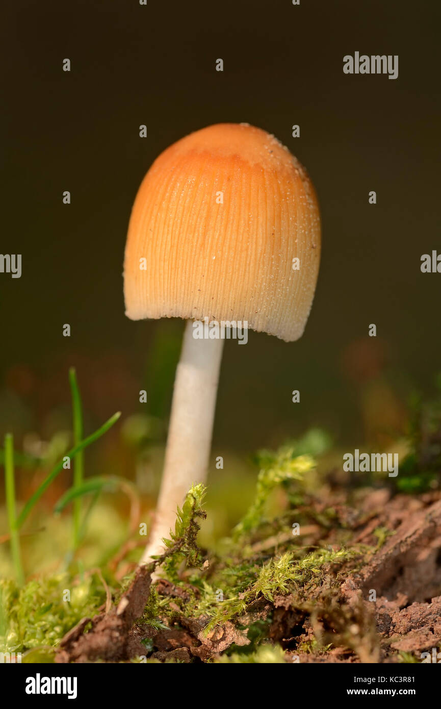 Glistening Inkcap, North Rhine-Westphalia, Germany / (Coprinus micaceus) | Glimmer-Tintling, Nordrhein-Westfalen, - Stock Image