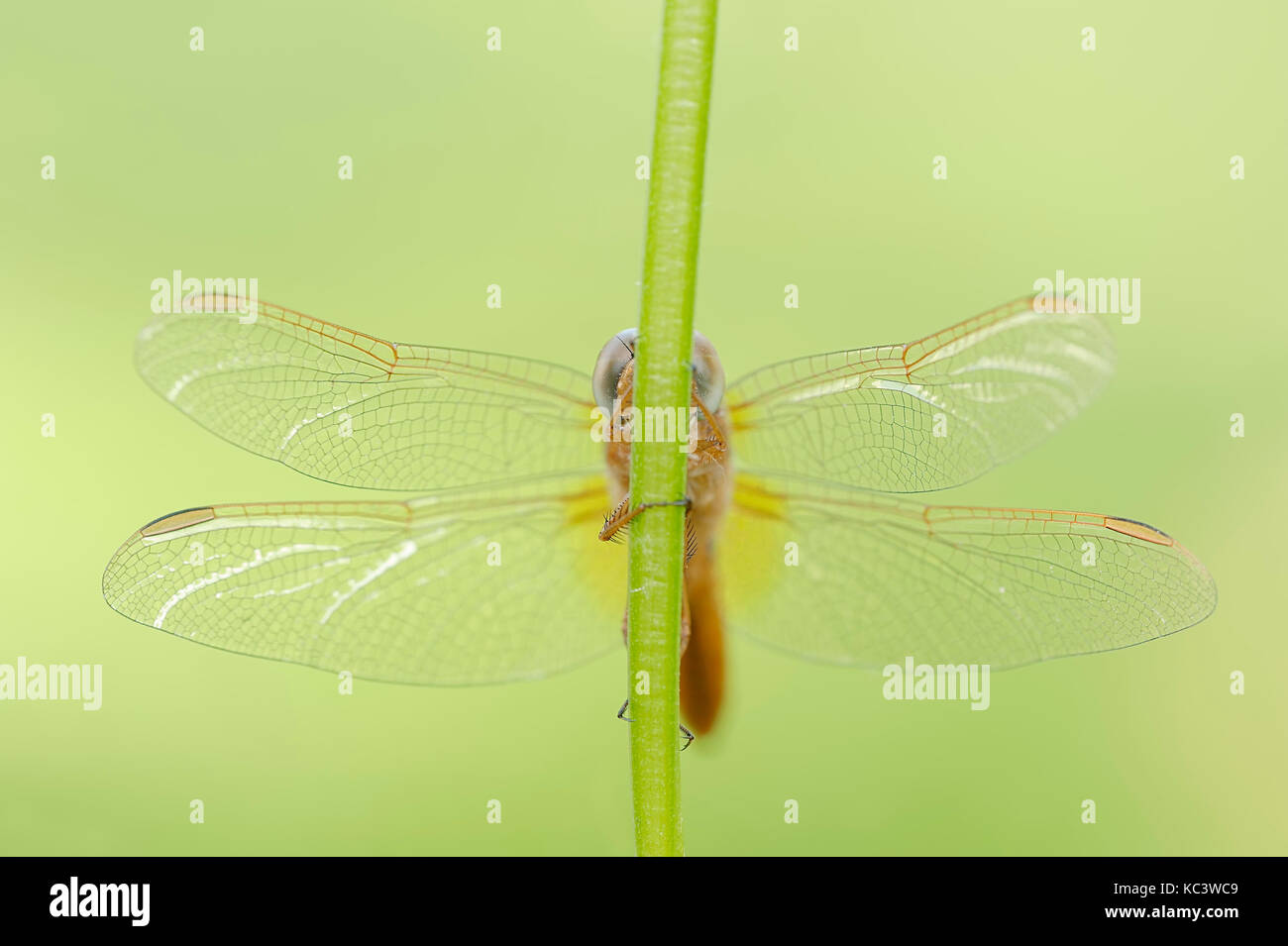 Scarlet Dragonfly, young male, North Rhine-Westphalia, Germany / (Crocothemis erythraea)    Feuerlibelle, junges Stock Photo