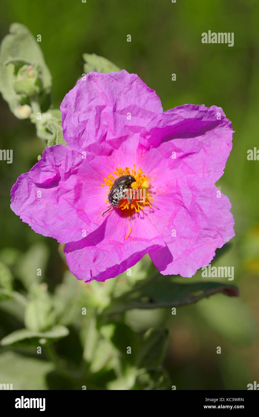 Grey-leaved Cistus and White-spotted Rose Beetle, Provence, Southern France / (Cistus albidus), (Oxythyrea funesta) - Stock Image