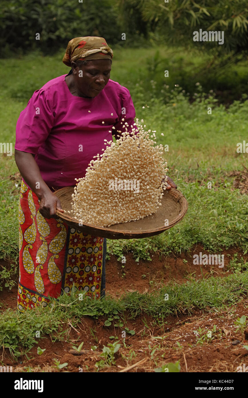 Winnowing corn, (maize), Luhya woman, Kakamega forest, Kenya - Stock Image