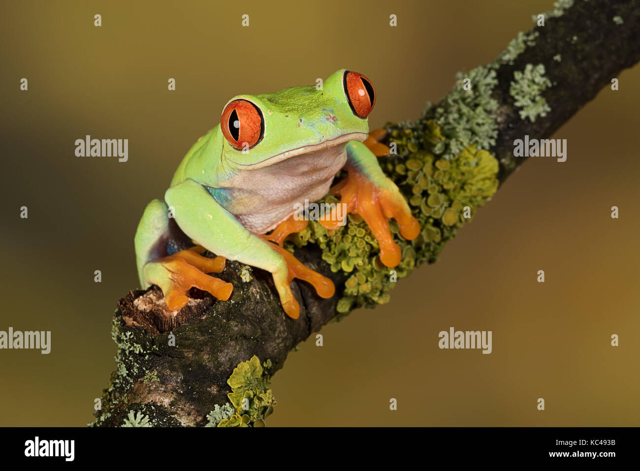 Close up portrait of a red eyed tree frog balancing on a branch against a plain natural background - Stock Image