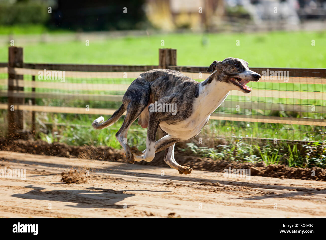 Male Whippet sighhound training on the race track - Stock Image