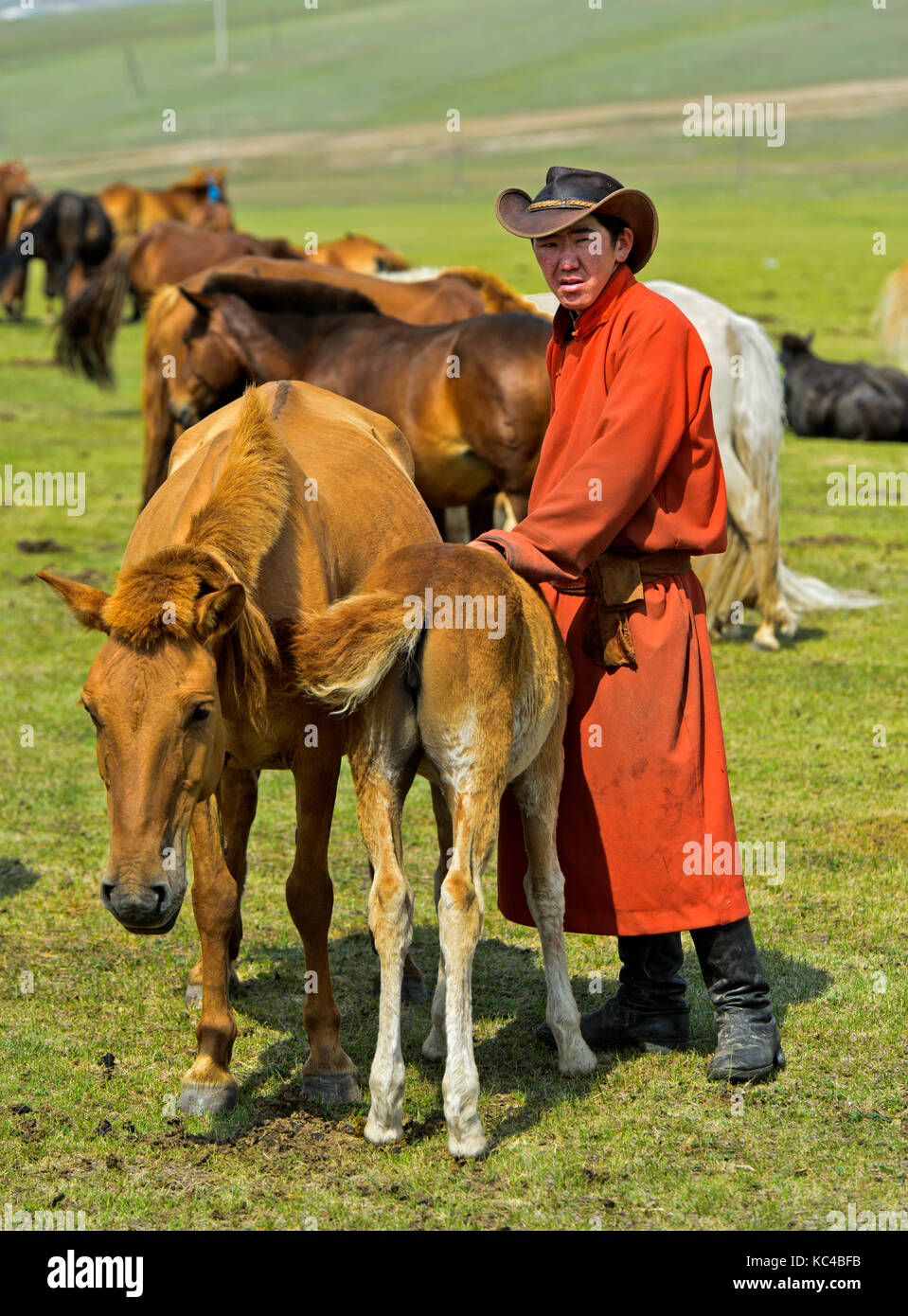 Young man brings foal to a mare to reassure her during milking, Mongolia - Stock Image