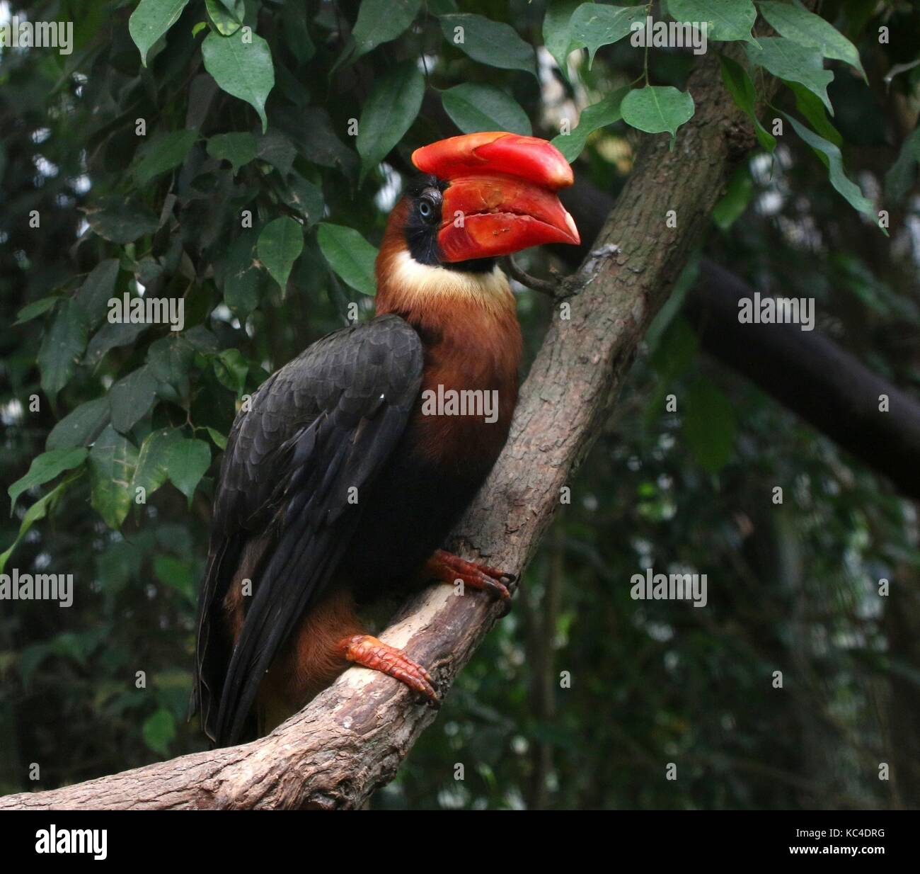 Female  Asian Rufous hornbill (Buceros hydrocorax perched in a tree. Also known as Philippine hornbill - Stock Image