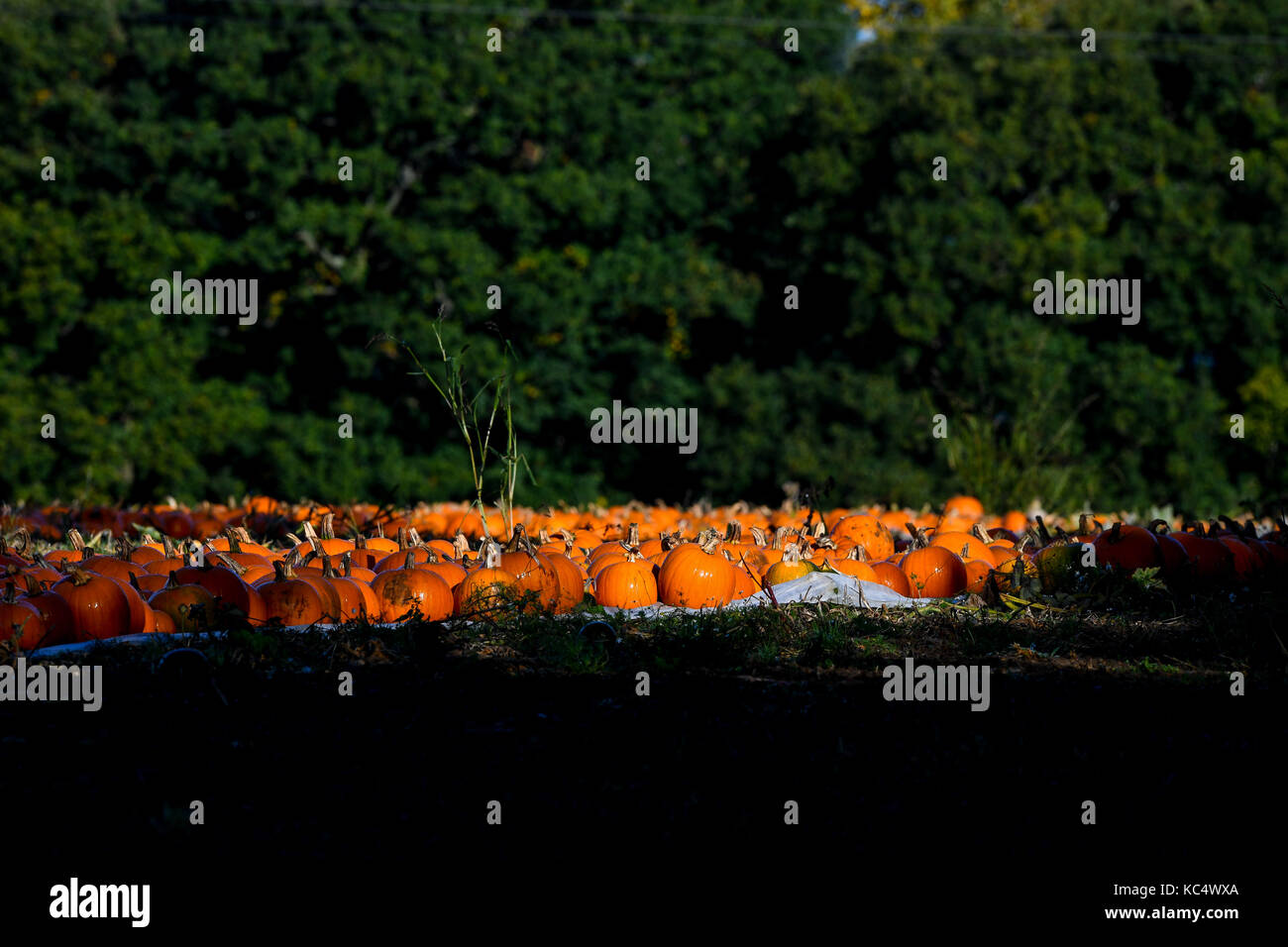 The Pumpkin Harvest Gets Underway In Romsey Hampshire Pumpkin Pickers Take Advantage Of The Break In The Weather As The