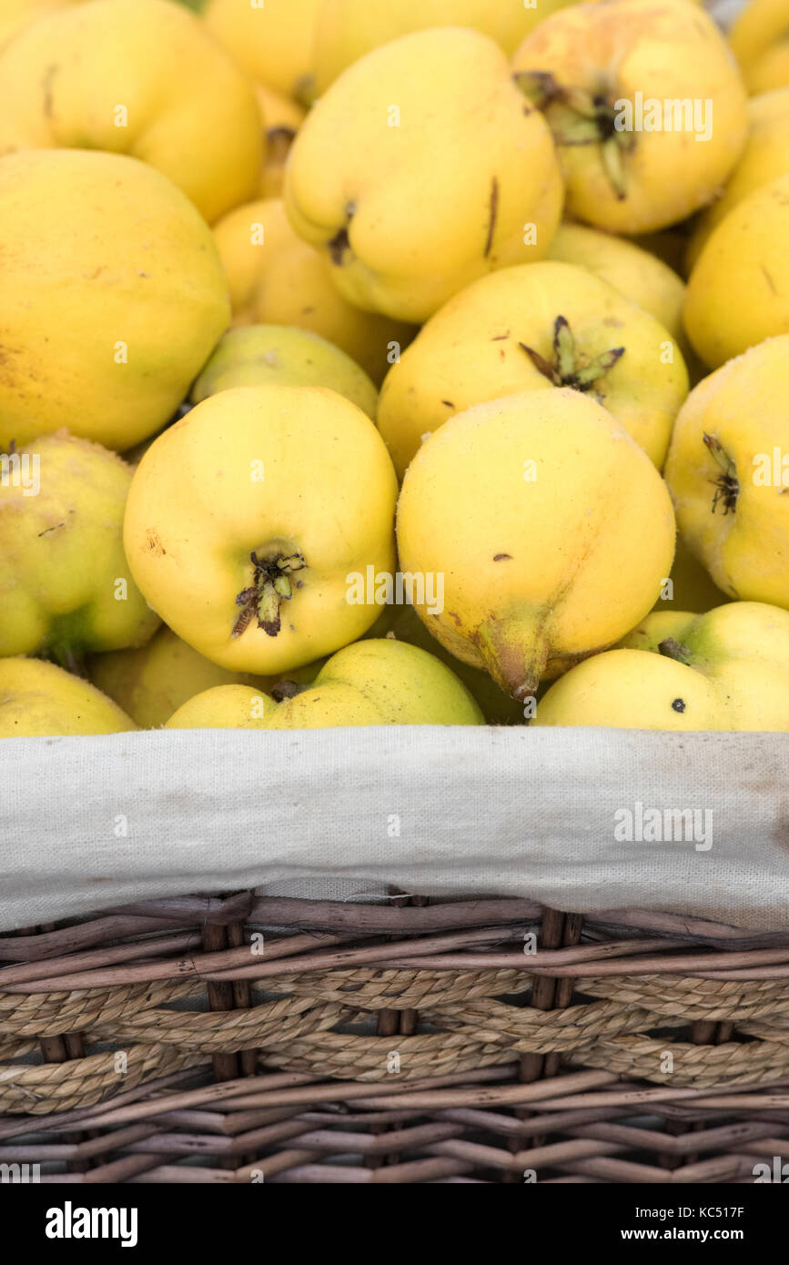 Cydonia oblonga. Quince display at the Malvern Autumn Show, Worcestershire, UK Stock Photo
