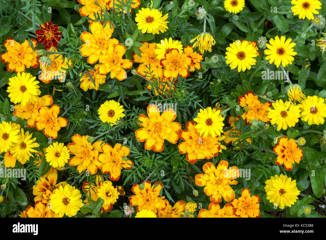 Yellow marigold (Tagetes), also Marigold, island of Flores, Azores, Portugal Stock Photo