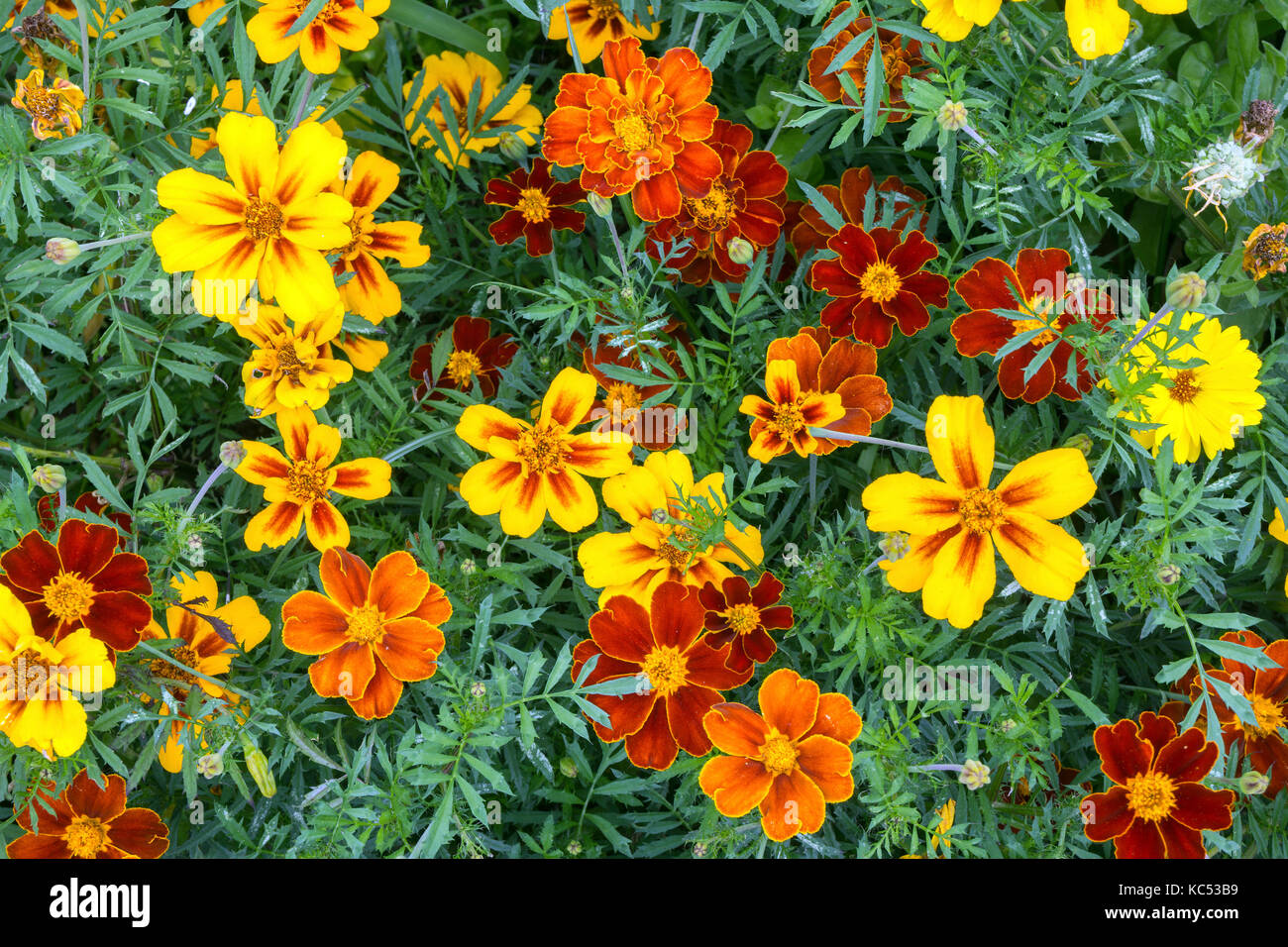 Yellow and orange marigolds (Tagetes), also Marigold, Island of Flores, Azores, Portugal Stock Photo