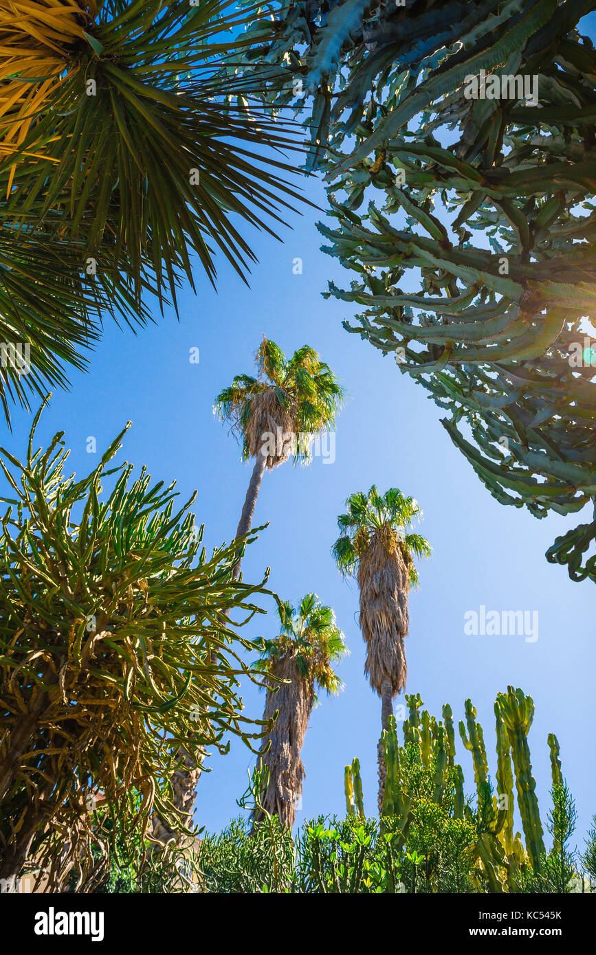 Valencia Spain botanical garden, view up towards towering cactus plants in a part of the desert plants section of the Jardin Botanico in Valencia. Stock Photo