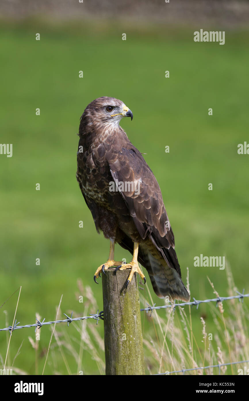 Close up view of Common Buzzard Buteo buteo perched on a fence post - Stock Image