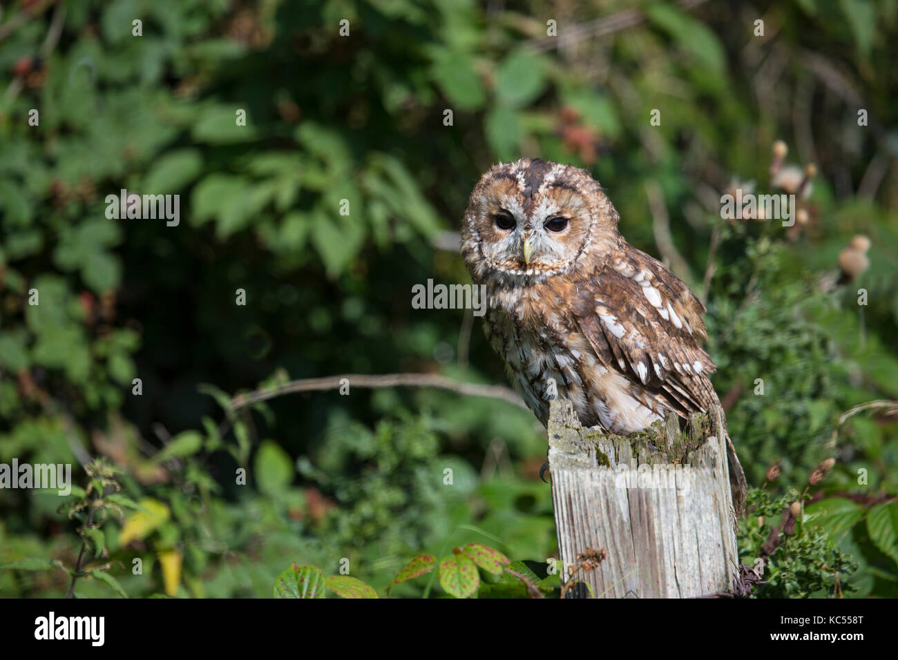 Tawny Owl Strix aluco perched on a wooden fence post in woodland - Stock Image