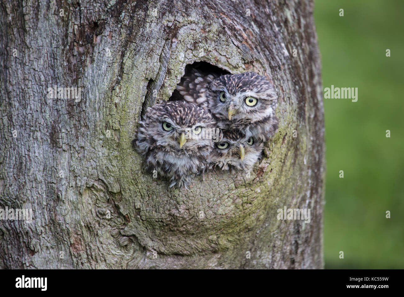 Three Little Owls Athene noctua peeping out from a hole in a tree - Stock Image