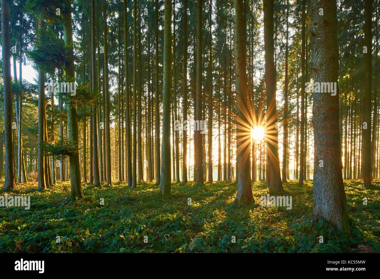 Sunbeams shine through tree trunks, spruce forest, Lindenberg, Canton Aargau, Switzerland - Stock Image