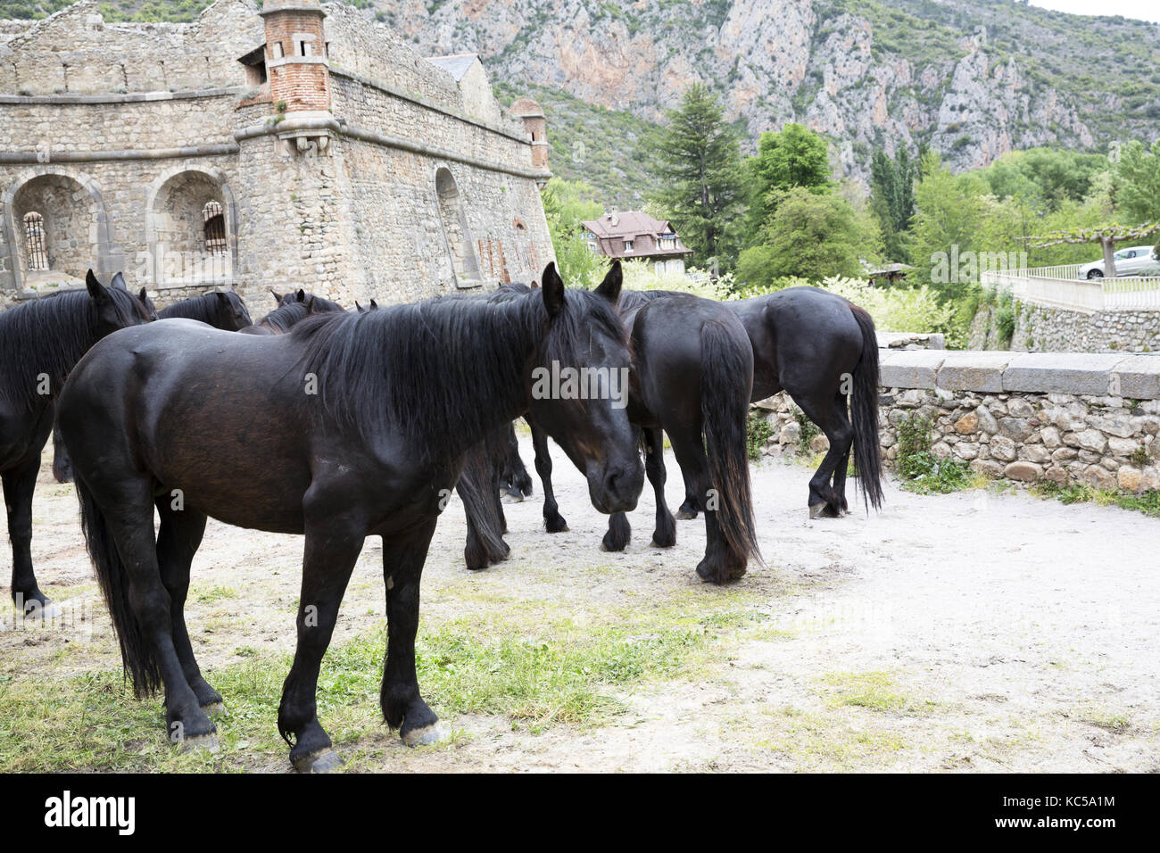 Mérens horses going through Villefranche-de-Conflent, on their way to summer pastures - Stock Image