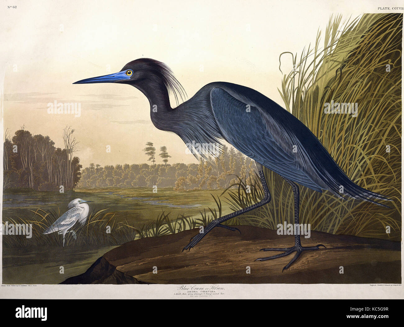 John James Audubon's Birds of America and Viviparous Quadrupeds: Blue Crane, or Heron, Ardea Cœrulea. (Plate - Stock Image