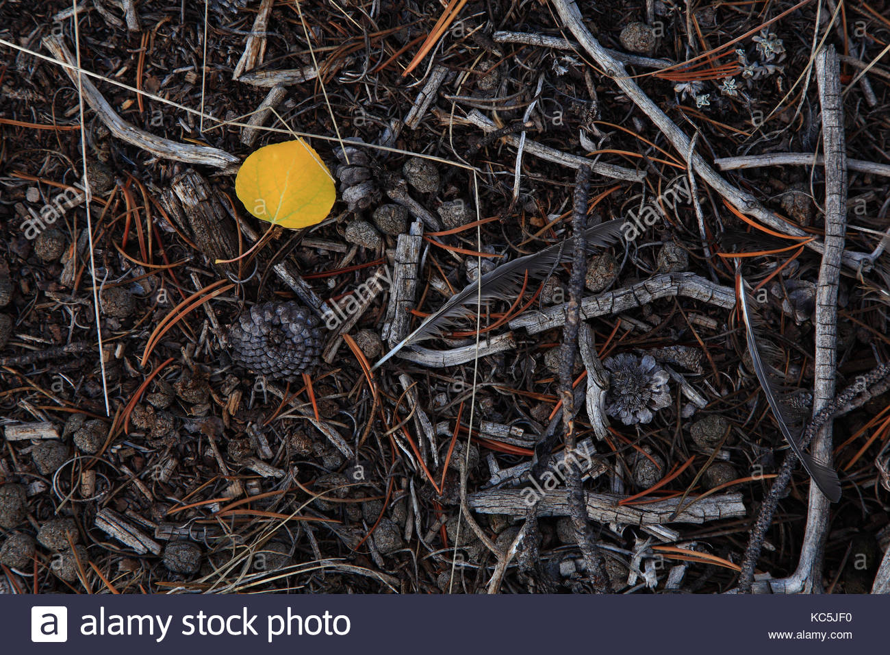 a fallen fall leaf stands out among the pine cones and needles in the green river lakes region of the wind river - Stock Image