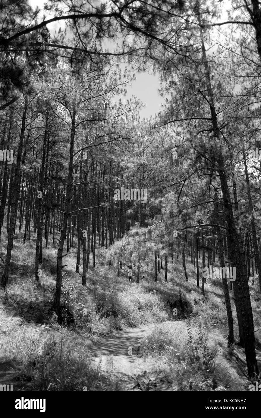 Beautiful view of walking through pine forest in Dalat, Vietnam. Black and white tone. Stock Photo