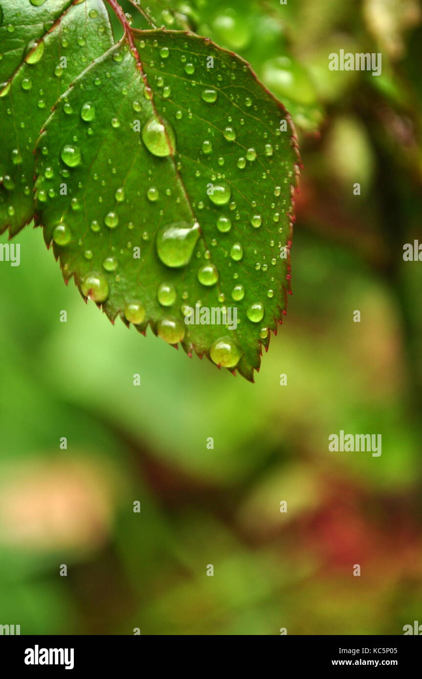 Detail of a rose leaf with raindrops and blurred background with copy space - Stock Image